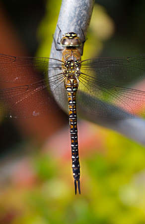 Top view macro of a dragonfly