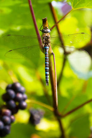 migrant: Dragonfly on a grape vine