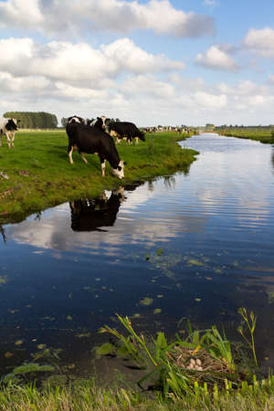 Dutch scene with cows grazing and a coot s nest in the foreground Stock Photo - 14075444