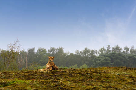 Cheetah laying on a hill photo