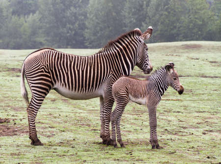 Zebra mom and new born calf photo