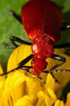 enyoing: Red beetle enyoing a lunch on a yellow flower