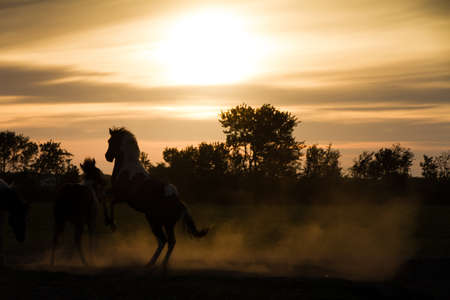 Horses playing at sunset in the Netherlands photo