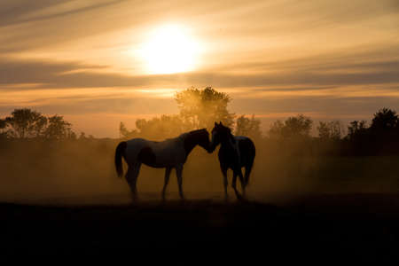 black horses: Silhoutte horses in love in the Netherlands at sunset Stock Photo