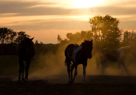 caballo negro: Silhoutte caballos que juegan en los Pa�ses Bajos en el ocaso Foto de archivo