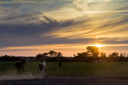 Horses running at sunset in the Netherlands photo