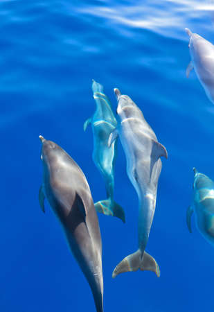 Group of Dolphins under the surface