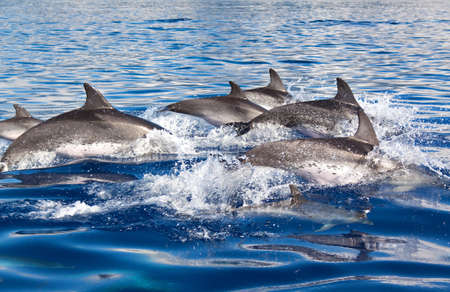 Group of dolphins at the Azores photo