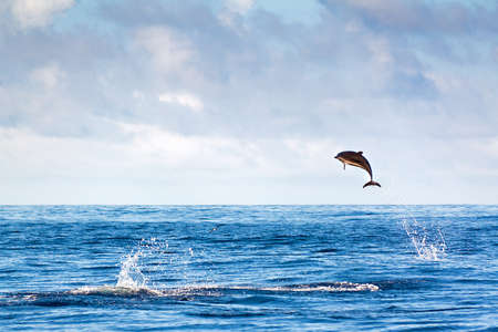 Dolphin jumping high out of the water at the Azores Stock Photo