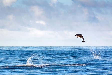 Dolphin springen hoch aus dem Wasser auf den Azoren Standard-Bild