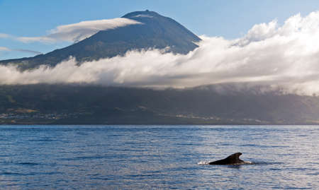 Whale Azores with mountain Pico in the background photo