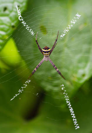 s trap: St andrew s cross spider, Argiope aetherea, with stabilimenta in its web Stock Photo