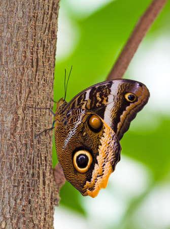 Owl butterfly in the genus Caligo photo