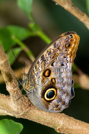 eyespot: Owl butterfly in the genus Caligo, on a branch