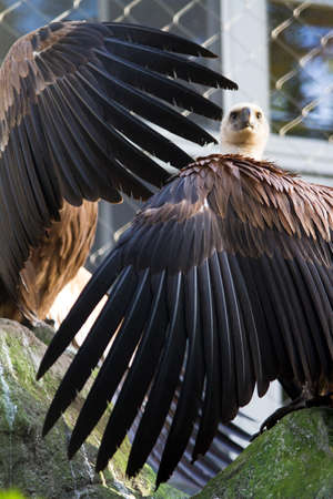 Vultures showing their wings in the zoo photo