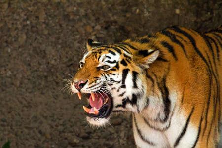 Portrait of a tiger roaring