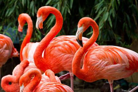 Group of beautiful pink flamingo s
