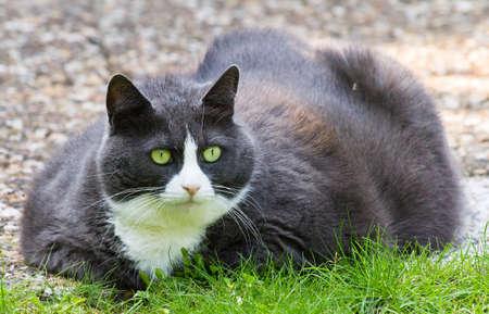 Fat fluffy cat laying outside