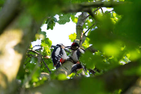 Great Spotted Woodpeckers, Dendrocopos major, peckering in a tree photo