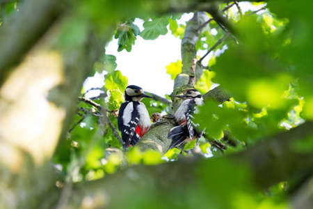 Great Spotted Woodpeckers, Dendrocopos major, foraging in a tree photo