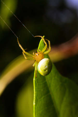 Araniella cucurbitina  one of two species called the  cucumber green spider   photo