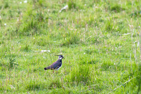 lapwing: Northern Lapwing  Vanellus vanellus  in a field Stock Photo