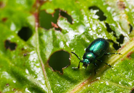 Green Leaf beetle in the family of the Chrysomelidae Stock Photo
