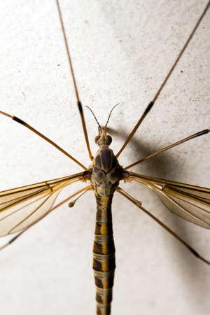 crane fly: Crane fly on white background