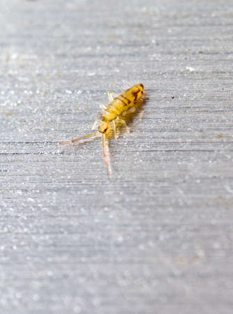 Springtail, Orchesella cincta, on a metal surface background  Stock Photo