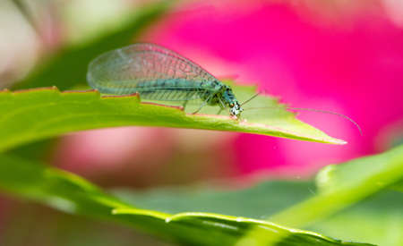 chrysoperla: Chrysopa perla, the  Green Lacewing   on pink