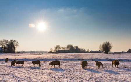 Dutch scene with sheeps grazing in the snow on a sunny day in winter  photo