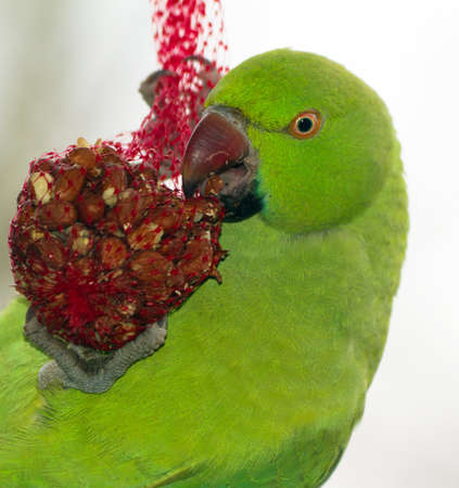 tele up: Rose-ringed Parakeet  Psittacula krameri  on a bird sack with nuts in winter Stock Photo