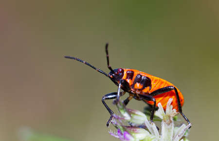 Fire bug, Pyrrhocoris apterus, in the wild in Switzerland photo