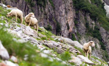 bleating: A couple of mountain sheeps looking after their young in the mountains