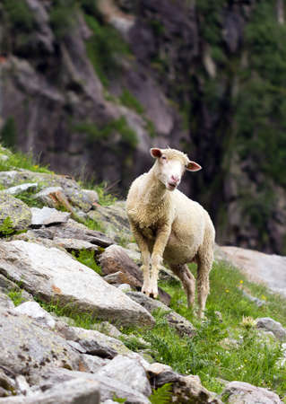rock wool: A mountain sheep looks up at the camera in the mountains