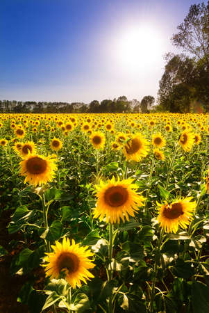 Beautiful field of sunflowers, backlit by the the sun, in Italy photo
