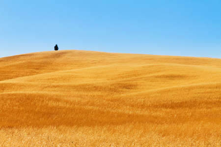 A lonely tree in a tuscan golden field in Italy photo