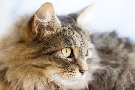 Side profile of a Norwegian Forest cat photo