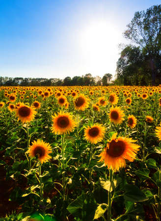 Large backlit field of beautiful sunflowers in Tuscany, Italy photo