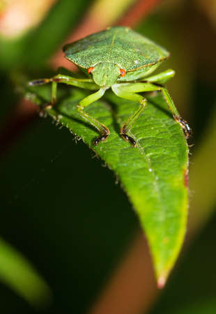 Front view of a green shieldbug on a leaf photo