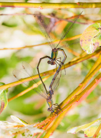 Two damselflies making love forming a heart photo