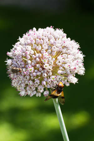 allium cepa: Onion flower, allium cepa, with all sorts of insects on it
