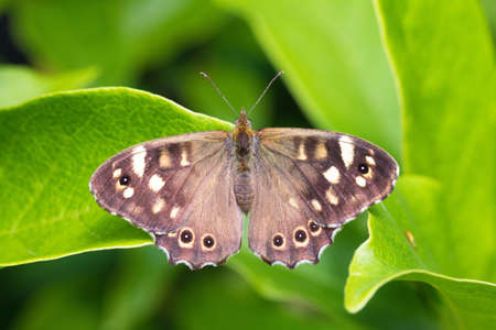 speckled wood: The Speckled Wood  Pararge aegeria  butterfly