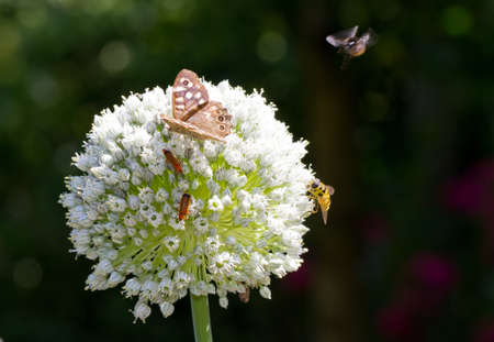 allium cepa: Onion flower head, Allium cepa, with lots of insects on it in summer