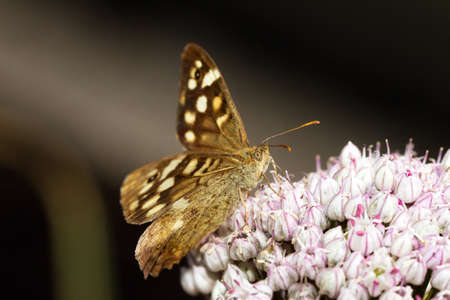 speckled wood: The Speckled Wood  Pararge aegeria  butterfly on an onion flower in summer Stock Photo