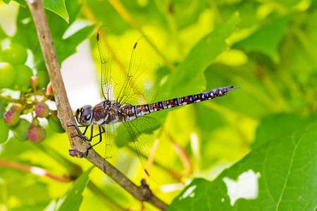 migrant: Male Migrant Hawker  Aeshna mixta  dragonfly on a grapvine Stock Photo