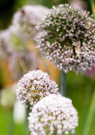 allium cepa: Onion flower heads, Allium cepa, with lots of insects on them in summer