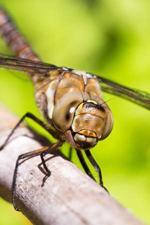 Female Migrant Hawker  Aeshna mixta  dragonfly, closeup macro shot photo