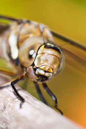 migrant: Female Migrant Hawker  Aeshna mixta  dragonfly, closeup portrait Stock Photo