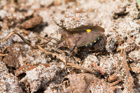 shield bug: The forest bug, Pentatoma rufipes  Beautiful shield bug in the sand in the Netherlands